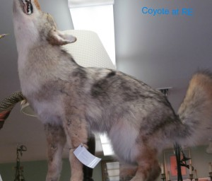 Howling for sales like a coyote