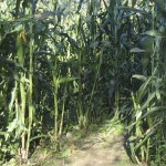 A corn maze in Charlestown RI
