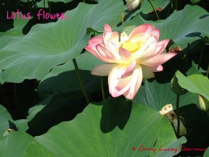 Sacred Lotus Flowers in Wickford RI?