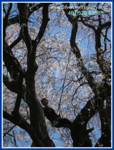 RI Tree Services | Silver Leaf Forestry | Back in the Sky